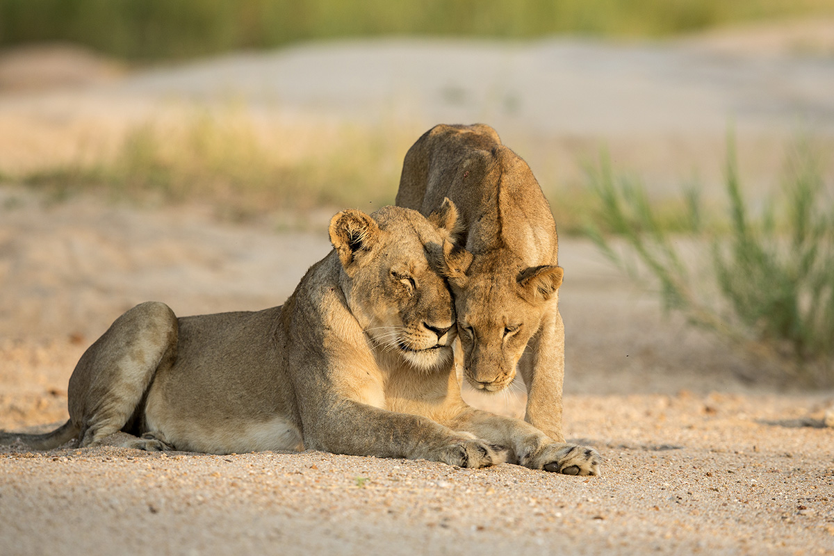 Two African Lions displaying affection Kruger Park South Africa